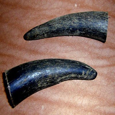 Ox Horn  from India