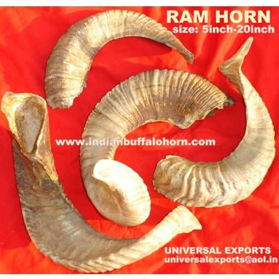 Ram Horn  from India
